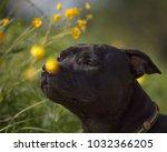 dog staffordshire bull terrier... | Shutterstock . vector #1032366205