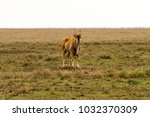 Small photo of African antelope - the hartebeest (Alcelaphus buselaphus)