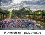 grape harvest italy   Shutterstock . vector #1032390601