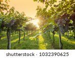 grape harvest italy | Shutterstock . vector #1032390625