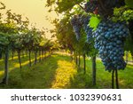 grape harvest italy | Shutterstock . vector #1032390631