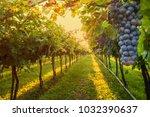 grape harvest italy | Shutterstock . vector #1032390637