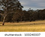 kangaroo hiding in toll grass.... | Shutterstock . vector #103240337