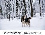 beautiful siberian husky dog in ... | Shutterstock . vector #1032434134