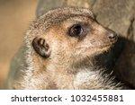 alert meerkat   suricata...   Shutterstock . vector #1032455881