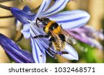 eager bumblebee collecting... | Shutterstock . vector #1032468571