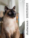 siamese cat shocked horror fear ... | Shutterstock . vector #1032520255