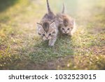 Stock photo two cute kittens playing in the garden under sunlight 1032523015