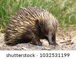 short beaked echidna at... | Shutterstock . vector #1032531199