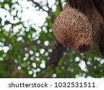 wild thai avian straw weaver...   Shutterstock . vector #1032531511