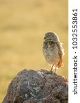 a small burrowing owl  athene... | Shutterstock . vector #1032553861