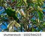 a rainbow lorikeet feeding on... | Shutterstock . vector #1032566215