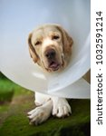 close up of labrador dog with...   Shutterstock . vector #1032591214