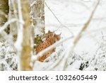 lynx in snow forest. eurasian...   Shutterstock . vector #1032605449