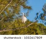 eastern great egret  ardea alba ...   Shutterstock . vector #1032617809
