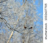 Small photo of Two common redpolls (Acanthis flammea) sitting and feeding on a frosty tree against out of focus frosty birches and blue sky background. Meiekose nature trail, Estonia