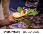 farmer offering a fresh nutmeg... | Shutterstock . vector #1032642031
