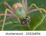 A Female Green Lynx Spider Has...
