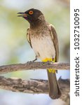Small photo of African Red-Eyed Bulbul, a common bird in Namibia