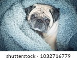 Stock photo sad and funny expression for a brown old pug inmersed in a blue blanket at home lazy and 1032716779