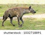 hyena in the african savanna | Shutterstock . vector #1032718891