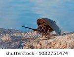 Horseshoe Crab  Limulus...