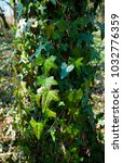 Ivy Covering Tree Trunk