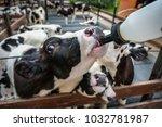 Feeding milk replacer to calves
