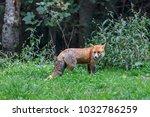 european red fox  vulpes vulpes ... | Shutterstock . vector #1032786259
