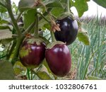Small photo of indian cute brinjals