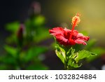 Red Flower  Hibiscus  Chaba...
