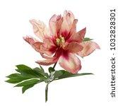beautiful peony flower of... | Shutterstock . vector #1032828301
