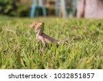 lizard on grass close up... | Shutterstock . vector #1032851857