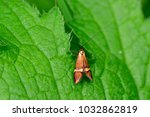 Small photo of The Adelidae or fairy longhorn moths