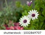beautiful white gerbera flowers ... | Shutterstock . vector #1032869707
