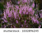 Close Up Of Common Heather  ...