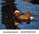 Small photo of Mandarin duck - aix galericulata