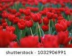 red tulips flowers garden | Shutterstock . vector #1032906991