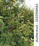 Small photo of acacia karroo shrub