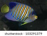 Regal angelfish in tropical waters - stock photo