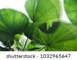 Round Palm Tree Leavs As Good...