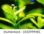 bubbles of oxygen on leaves of... | Shutterstock . vector #1032999481