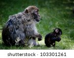 Barbary Macaques Mother And Baby