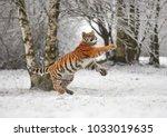 the siberian tiger  panthera... | Shutterstock . vector #1033019635