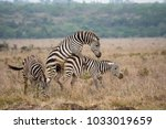 two zebras mating in an open... | Shutterstock . vector #1033019659