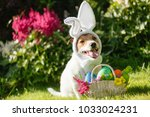 funny dog wearing easter bunny... | Shutterstock . vector #1033024231