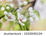 Pear Tree Blossom Close Up....