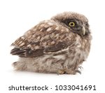 Stock photo young owl isolated on a white background 1033041691