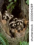 Small photo of baby Raccoons (Procyon lotor), NJ