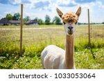 Portrait Of A Cute Alpaca In...